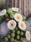 Detail of White and Peach Blooms on Saguaro Cactus Photographic Print by Jeff Foott