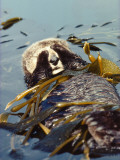 Sea Otter Floats on Back While Wrapped in Kelp Photographic Print by Jeff Foott