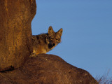 Coyote Peeks Out Between Two Rocks Photographic Print by Jeff Foott