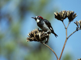 Acorn Woodpecker (Melanerpes Formicivorus) Perching on Branch, Arizona, Usa Photographic Print by Jeff Foott