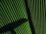 Light Illuminates a Green Palm Frond from Behind, Vallee De Mai Sanctuary, Pralin Island Photographic Print by Jeff Foott