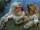 Snow Monkeys/Japanese Macaques Soak in Hot Spring, Lean on Rock Photographic Print by Jeff Foott