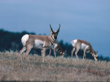 Pronghorn Antelope Acts as a Sentinel While Others Eat Photographic Print by Jeff Foott