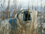 A Polar Bear Sleeping Amidst Stalks of Tall, Dried Grass Photographic Print by Jeff Foott