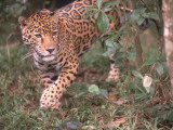 Jaguar Walks Through Tropical Rainforest Photographic Print by Jeff Foott