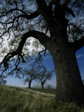 Oak Trees on a Hill, Mount Diablo State Park, California, Usa Photographic Print by Jeff Foott