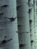 Detailed of Several Aspen Tree Trunks Photographic Print by Jeff Foott