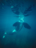 Killer Whale Submerged with Head Above Water Photographic Print by Jeff Foott