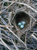 The Nest of a Red-Winged Blackbird with Three Light Blue Eggs Photographic Print by Jeff Foott