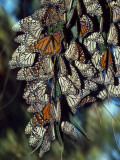 Dozens of Monarch Butterflies Perch on Blades of Grass Photographic Print by Jeff Foott