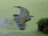 American Alligator in 'Duck Weed' Photographic Print by Jeff Foott