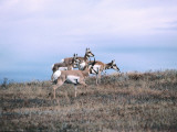 Group of Pronghorn Antelope Stands in Dry Grass Field Photographic Print by Jeff Foott