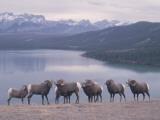 Bighorn Sheep Exhibit Rutting Behavior Photographic Print by Jeff Foott