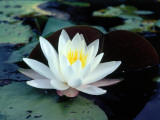 Water Lily Floating Near Lily Pads Photographic Print by Jeff Foott
