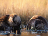 Mother and Young Beaver Wade in Water Photographic Print by Jeff Foott
