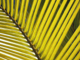 Detail of Yellowed Palm Frond, Bird Island, Republic of Seychelles, Africa Photographic Print by Jeff Foott