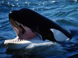 Killer Whale (Orcinus Orca) Head Photographic Print by Jeff Foott