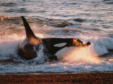 Killer Whale Washed Up on Shore Photographic Print by Jeff Foott
