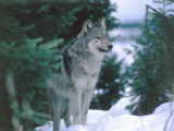 Gray Wolf Stands in Snow Near Pine Trees Photographic Print by Jeff Foott