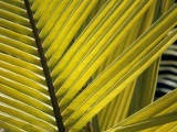 Detail of Palm Fronds, Bird Island, Republic of Seychelles, Africa Photographic Print by Jeff Foott