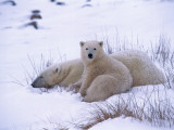 Polar Bear Cub Sits Beside its Sleeping Mother Photographic Print by Jeff Foott