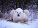 Detail of Polar Bear Lying in Willows Photographic Print by Jeff Foott