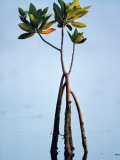 Red Mangrove (Rhizophora Mangle) Everglades Np, Florida, Usa Photographic Print by Jeff Foott