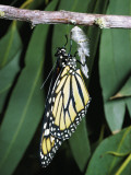 Monarch Butterfly Has Just Emerged from its Chrysalis Photographic Print by Jeff Foott