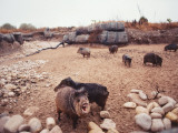 Group of Collared Peccary/Javelina Standing in Desert Photographic Print by Jeff Foott