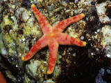 Blood Starfish (Henricia Leviuscula) Lying on Coral, Monterey Bay, California, Usa Photographic Print by Jeff Foott