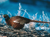 Ringed-Neck Pheasant Crouches over Ground Cover in Snow Reproduction photographique par Jeff Foott