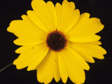 A Detailed View of a Tickseed Flower (Coreopsis Gladiata) in Blossom, Myakka River State Park, Photographic Print