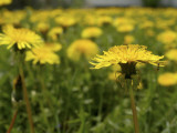 Minnesota, Minneapolis, a Lone Ant Is Found Foraging in a Field of Dandelions in a Backyard Photographic Print by Jayme Halbritter