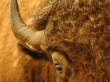 North Dakota, Fort Berthold Indian Reservation, an American Bison Gets Up Close and Personal Photographic Print by Jason Lindsey