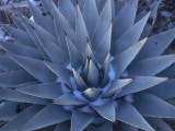Detail of a Blue Agave in the Winter Photographic Print by Jeff Foott