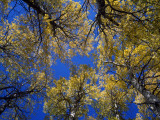 Autumn Canopy of Aspen Trees (Populus Tremula Sp Photographic Print by Jeff Foott