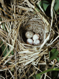 Brown-Headed Cowbird Egg in Nest of Macgillivaray's Warbler Papier Photo par Jeff Foott
