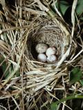 Brown-Headed Cowbird Egg in Nest of Macgillivaray's Warbler Reproduction photographique par Jeff Foott