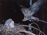 Great Gray Owl Lands on Nest Occupied by Young Photographic Print by Jeff Foott