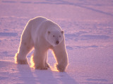 Male Polar Bear in the Morning Light Photographic Print by Jeff Foott