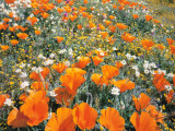 Detail of Field of California Poppy, Cream Cup and Goldfield Flowers Photographic Print by Jeff Foott