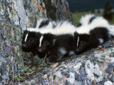 A Group of Striped Skunks Huddle on a Rock Photographic Print by Jeff Foott