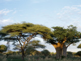 African Landscape with Umbrellathorn (Acacia Tortilis) and Baobab Tree (Adansonia Digitata) Photographic Print by Jeff Foott