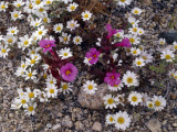 Desert Monkeyflower (Mimulus Bigelovii) and Wooly Daisies (Eriophyllum Wallacei) Blooming Photographic Print by Jeff Foott
