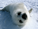 Harp Seal (Phoca Groenlandicus) Pup Lying on Snow Photographic Print by Jeff Foott