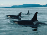 Group of Killer Whales Swim on Surface of Ocean with Mountains in the Background Photographic Print by Jeff Foott