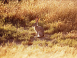 Blacktail Jackrabbit Sits in Grassy Field Photographic Print by Jeff Foott