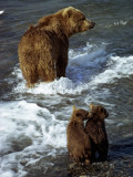 Grizzly Bear, Ursus Arctos, Cubs, Mcneil River, Alaska, Usa Photographic Print by Jeff Foott