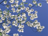 Pacific Dogwood Blossoms under a Clear Blue Sky in Spring Photographie par Jeff Foott
