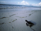 Newly Hatched Green Turtle Makes its Way to the Shoreline Photographic Print by Jeff Foott